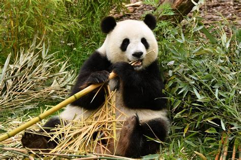 El último oso panda de Europa vivió en la península ibérica