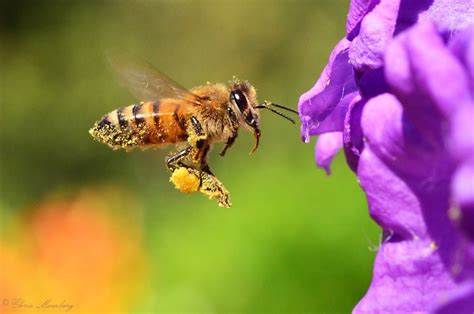 El veneno de las abejas puede usarse para acabar con el ...