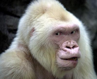 El Zoo de Barcelona añora a  Copito de Nieve , que llegó ...