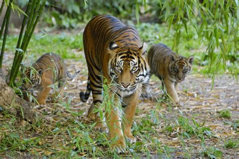 Elderly zookeeper mauled to death by tigers at closed down ...