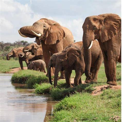 ELEFANTES  Monte kenia safari club en laikipia  KENYA ...
