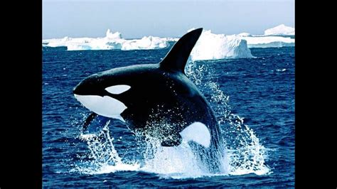 Elegante Mörder   Die Orcas der Antarktis   Doku ...