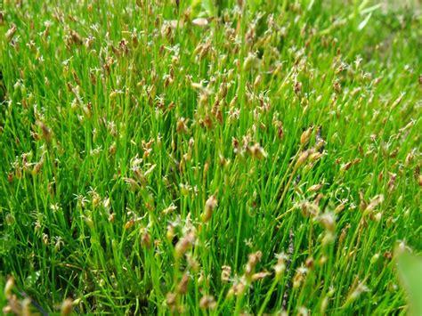 Eleocharis acicularis emersed | Plants, Planting flowers ...