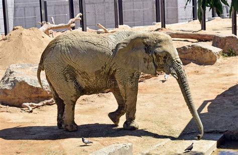 Elephant, Animals In The Zoo Of Barcelona Stock Image ...