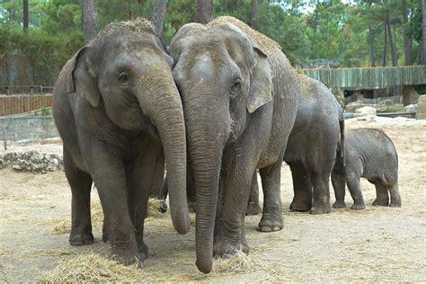 Eléphant d'Asie | Zoo de la Palmyre