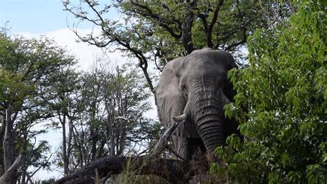 Elephant ,Moremi Game Reserve Botswana   YouTube