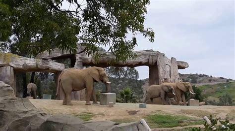 Elephants of the San Diego Zoo   YouTube