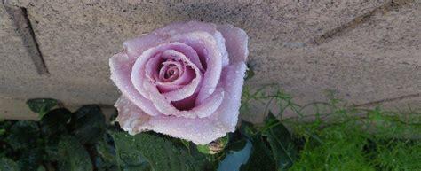 Elisabeth Jean: Blue Boy roses