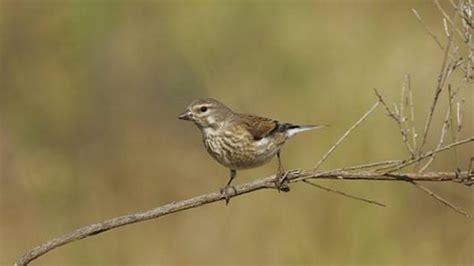 En Baleares ya no se podrán capturar aves cantoras   Ornithia