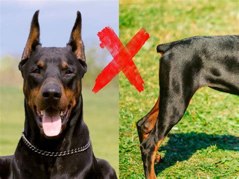 En España, NO más mutilaciones estéticas a perros