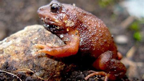 En lo alto de los Andes, surgen nuevas variedades de ranas ...