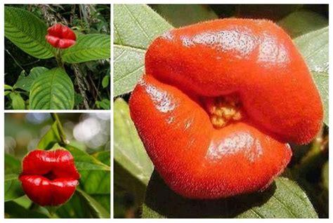 En peligro de extinción la Flor del beso  Psychotria elata ...