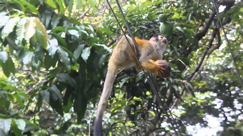 Endangered Costa Rican squirrel monkey eating mango   YouTube