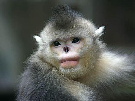 Endangered snub nosed monkeys evade extinction   GoKunming