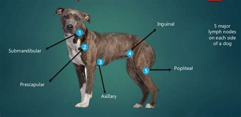 Enlarged Lymph Nodes in Dogs & Cats – A Swelling Not to Be ...