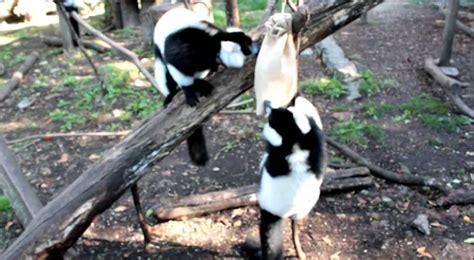 Enriquecimento Ambiental Zoo da Maia   YouTube