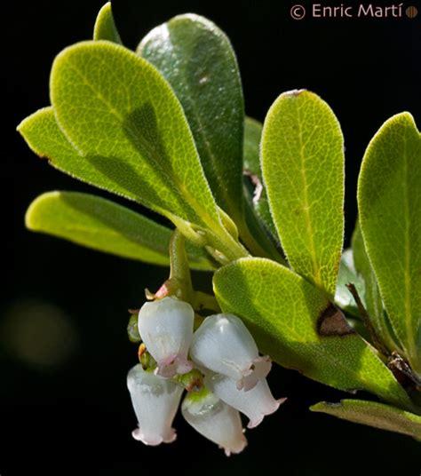 Ericaceae: Arctostaphylos uva ursi   Flores Silvestres del ...