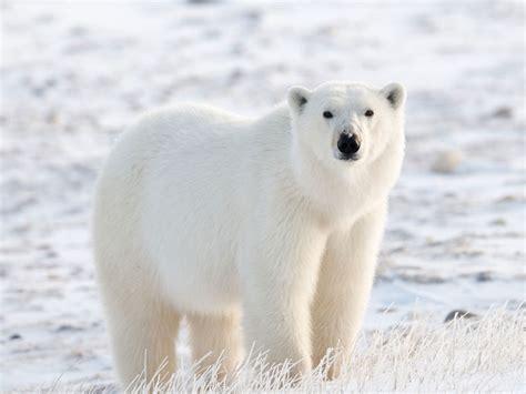 ¿Es verdad que el oso polar es muy agresivo?