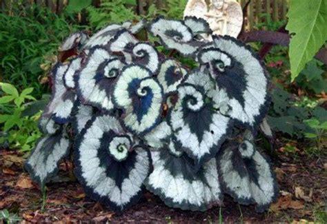 Escargot begonia. Love!  con imágenes  | Plantas, Plantas ...