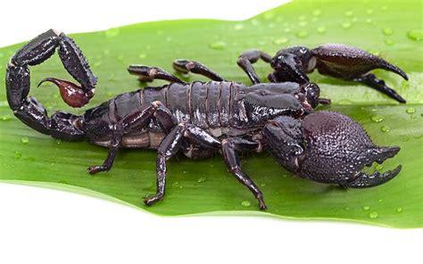 Escorpión, Tipos y Características   BioEnciclopedia