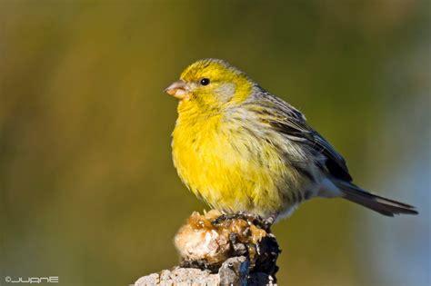 Eslora: El canario silvestre