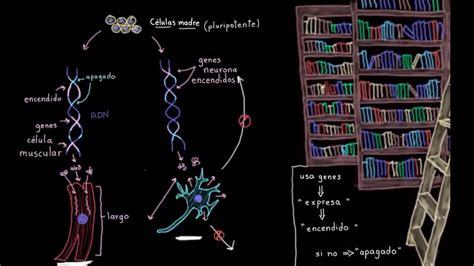 Especialización celular  diferenciación  | Biología | Khan ...