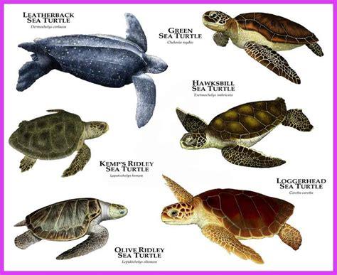Especies de tortugas más comunes en el Mar Rojo   CookieDiver