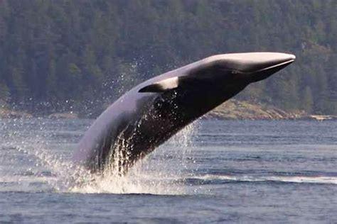 Especies o tipos de cetáceos