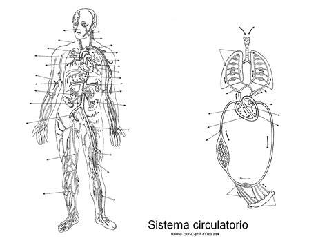 Esquema del sistema circulatorio, sin los nombres de sus ...