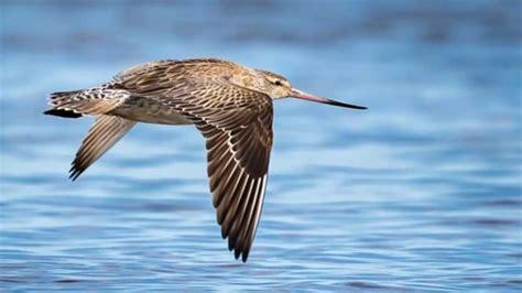 Esta es la ave que mas tiempo dura volando sin parar ...