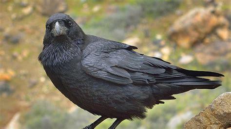 Este cuervo podría ser el próximo barrendero de tu barrio