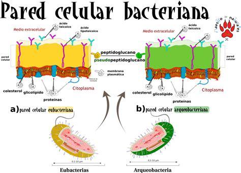 Estructura Bacteriana Pared Celular   2021 idea e inspiración