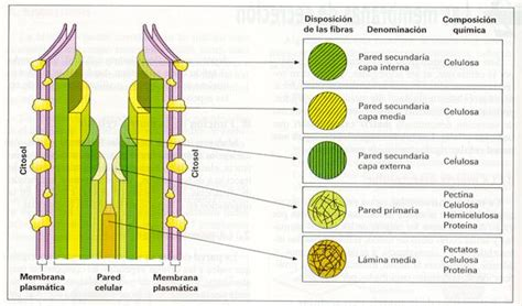 Estructura De La Pared Celular De Las Plantas   Varias ...