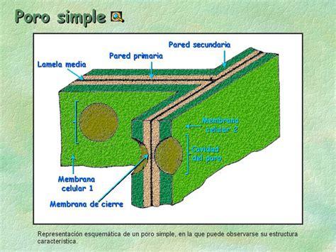 Estructura De La Pared Celular Dela Celula Eucariota ...