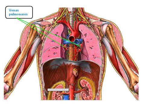 Estructura Muscular Cuyas Contracciones Impulsan La Sangre ...