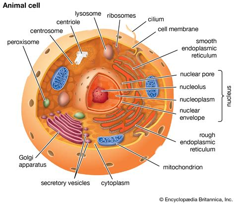 eukaryote | Definition, Structure, & Facts | Britannica