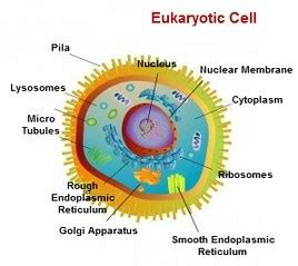Eukaryotic and Prokaryotic cells – Kate s A level Biology