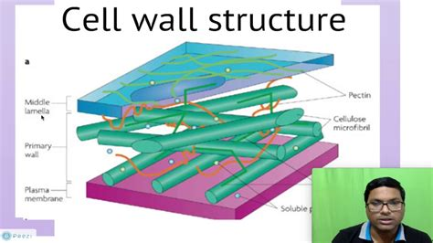 Eukaryotic Cell: Cell Wall   YouTube