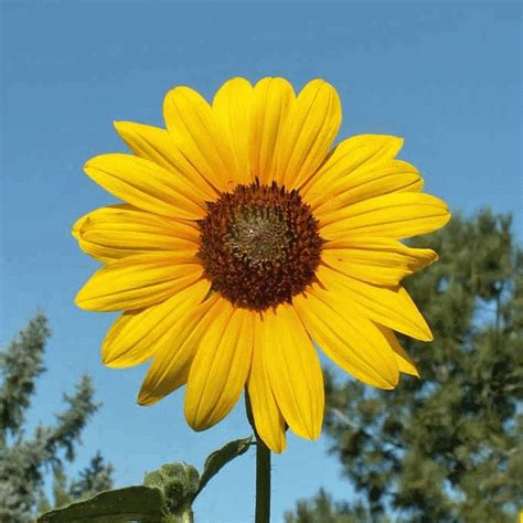 Everwilde Farms   1 Lb Wild Annual Sunflower Native ...