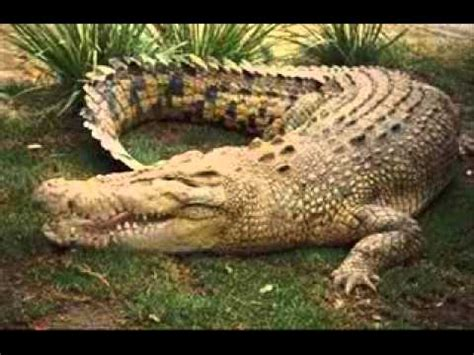 EXAMPLES OF REPTILES   YouTube