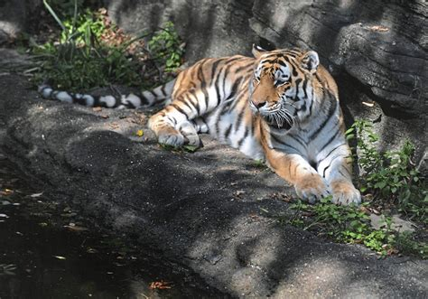 Expert says Pittsburgh Zoo tiger who died  had just been ...