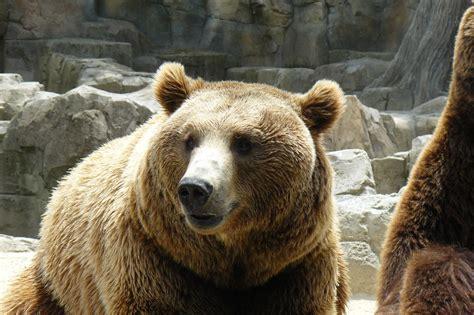 Extinción biodiversidad: El gran oso pardo
