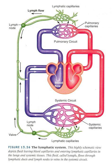 factores que influyen en el flujo de la linfa