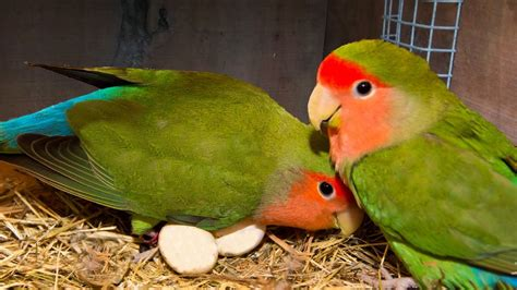 Facts About Love Birds Which You Should Know Before ...
