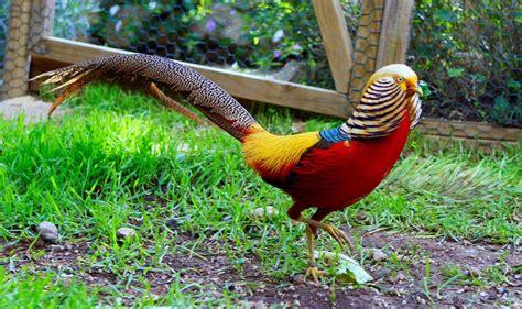 Faisán dorado | Aves exoticas del mundo, Aves exóticas ...