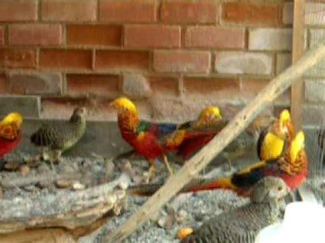 faisanes dorados ornamentales aves en venta   YouTube