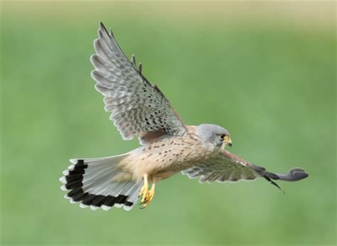 Falcons are small birds of prey with pointed wings and tails