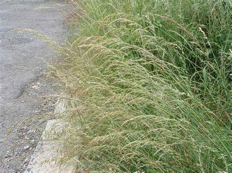 False Oat–grass   Arrhenatherum elatius, species ...