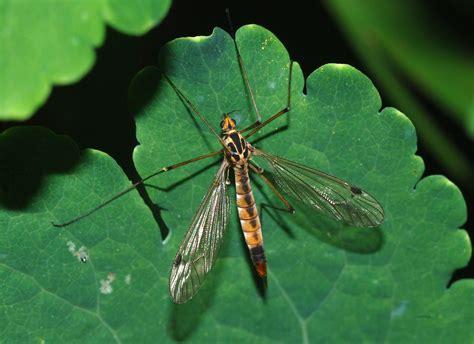 Familias de mosquitos   Mosquito