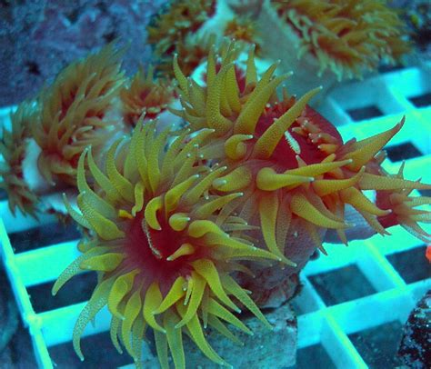 Fat Head Dendros LPS Live Coral for Aquariums LPS Coral Frags